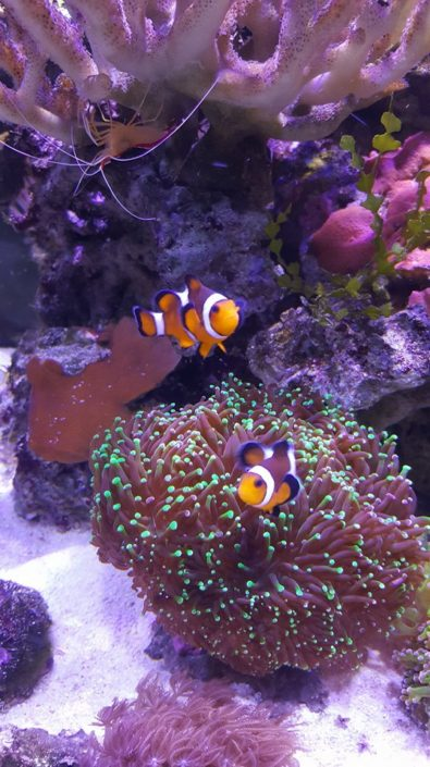 Couple de poisson clown